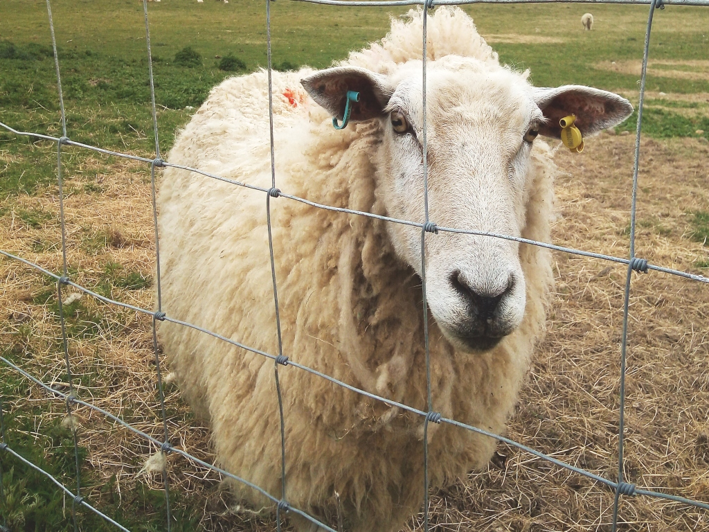 A sheep at a wire fence