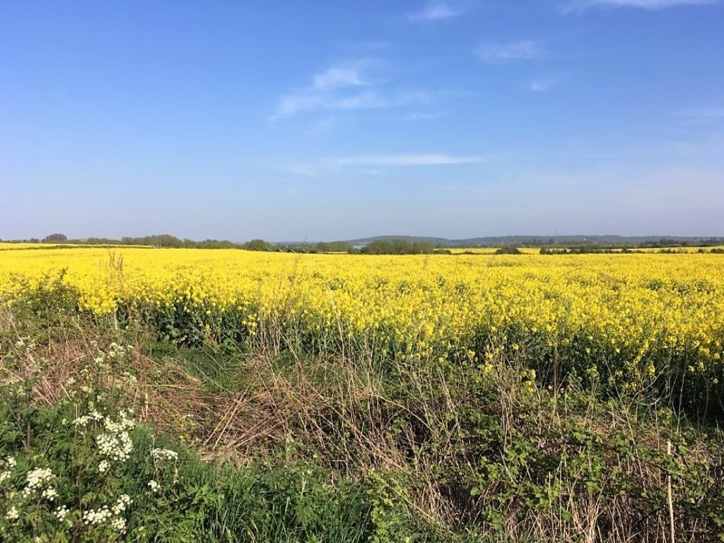 Field with Rapeseed