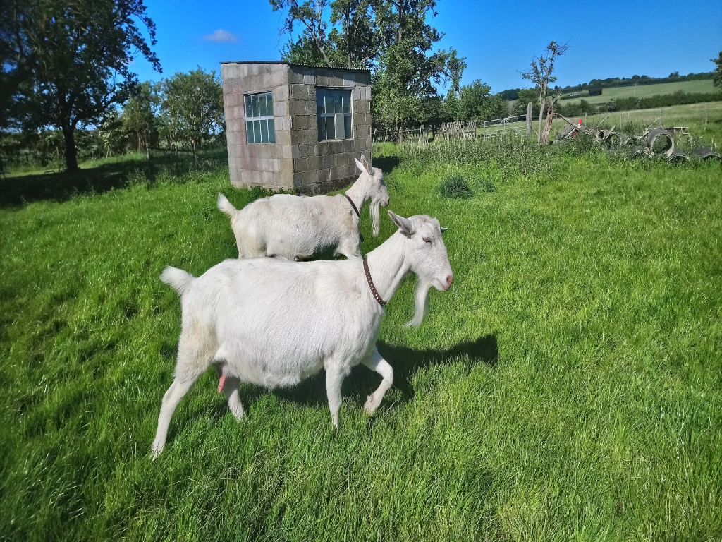 White goats in a field