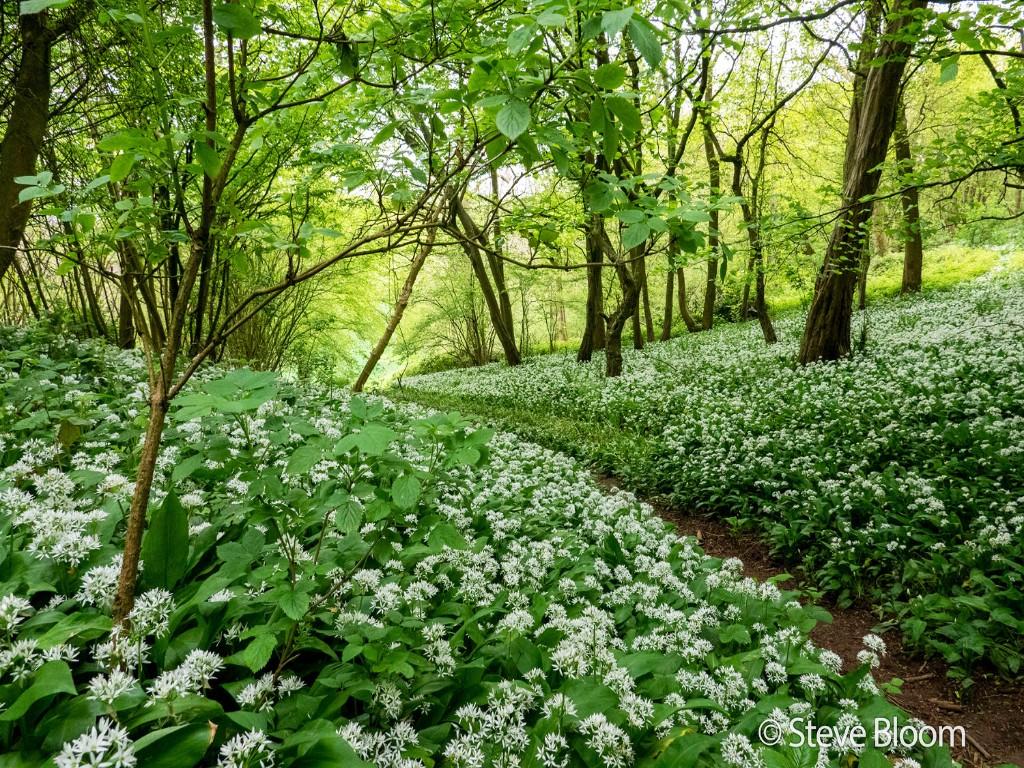 Woodland with wild garlic flowers