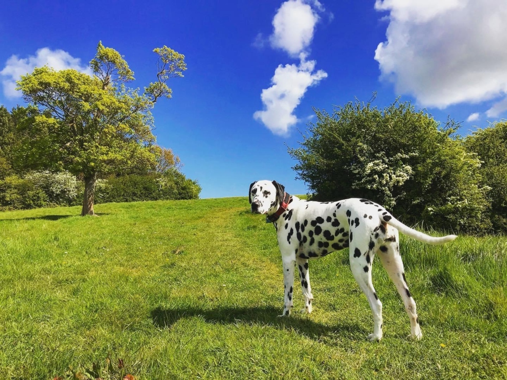 Dalmatian dog in a green field