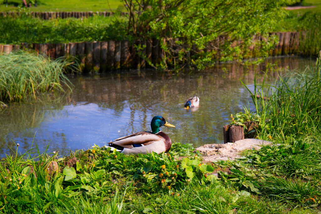 Ducks at the side of a river