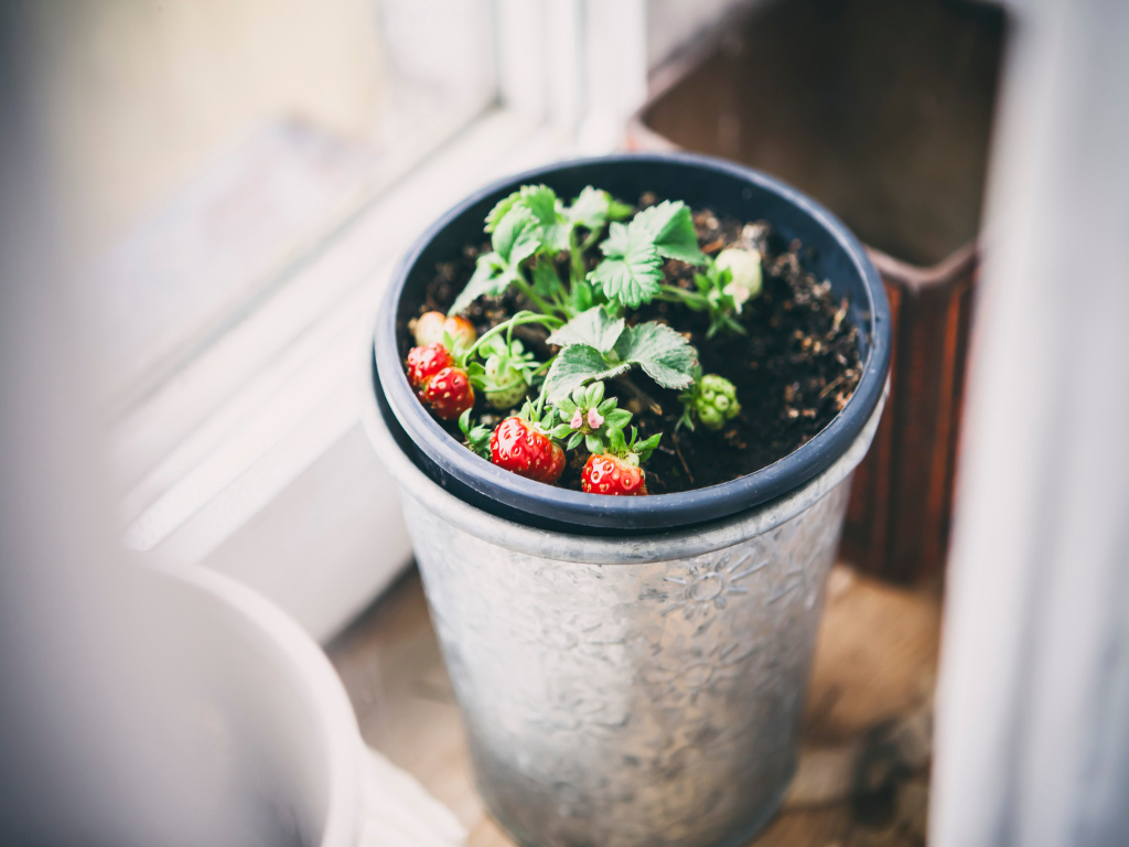 Plant pot with strawberries growing inside
