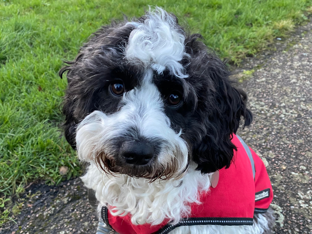 Fluffy black and white dog wearing red coat
